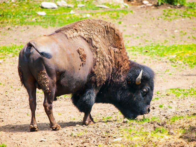 Одичалый американский бизон, бизон бизона, aka буйвол на выгоне стоковые фото