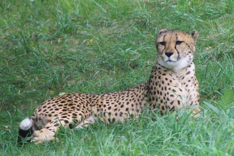 Одичалый гепард стоковые изображения