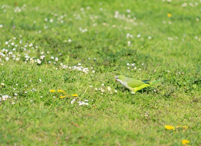 Одичалый длиннохвостый попугай монаха на зеленой траве стоковая фотография rf