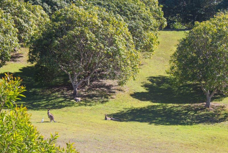 Одичалый кенгуру в горах Квинсленде Австралии сада стеклянных стоковая фотография rf