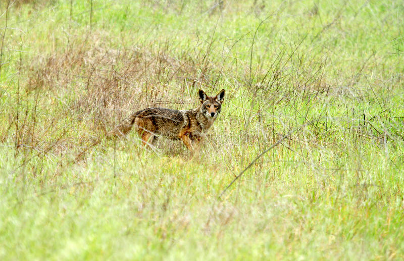 Одичалый койот в злаковике Стоковые Фотографии RF
