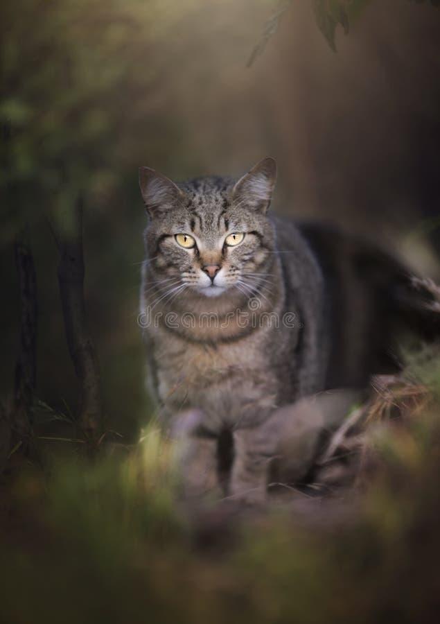 Одичалый кот шагая из древесин стоковое фото