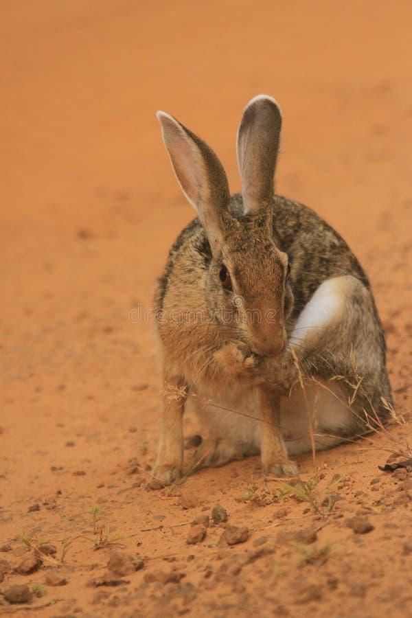 Одичалый кролик, слушает очень высоко там длинные уши стоковое фото
