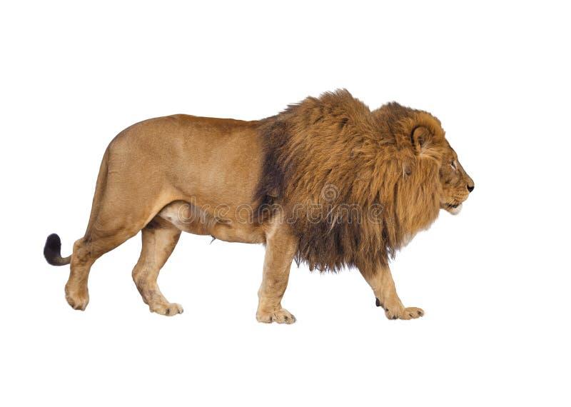 Одичалый лев на предпосылке изолированной белизной стоковое изображение