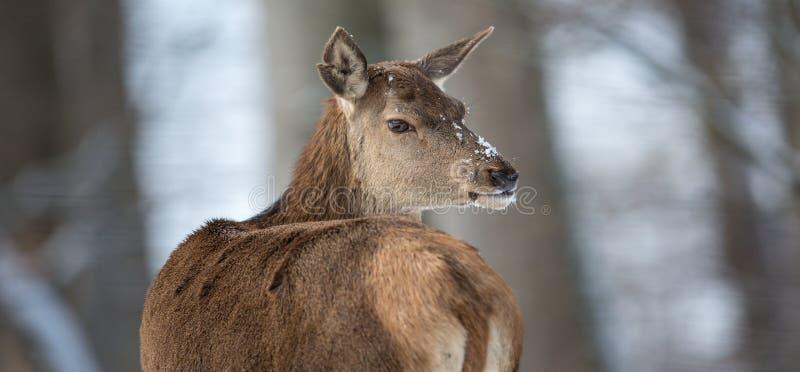 Одичалый лось Bull стоковое фото rf