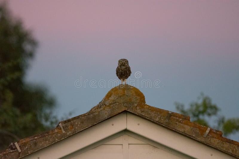 Одичалый маленький сыч садить на насест на крыше стоковое изображение rf