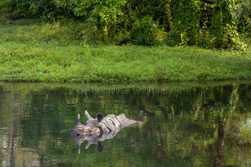 Одичалый носорог купая в реке в национальном парке Jaldapara стоковые фото
