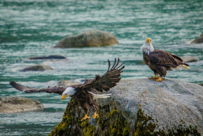 Одичалый опыт белоголовых орланов в запасе egle Chilkat облыселом, Аляске стоковые фотографии rf