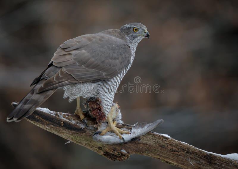 Одичалый северный ястреб-тетеревятник схватывая убитого голубя стоковое изображение rf