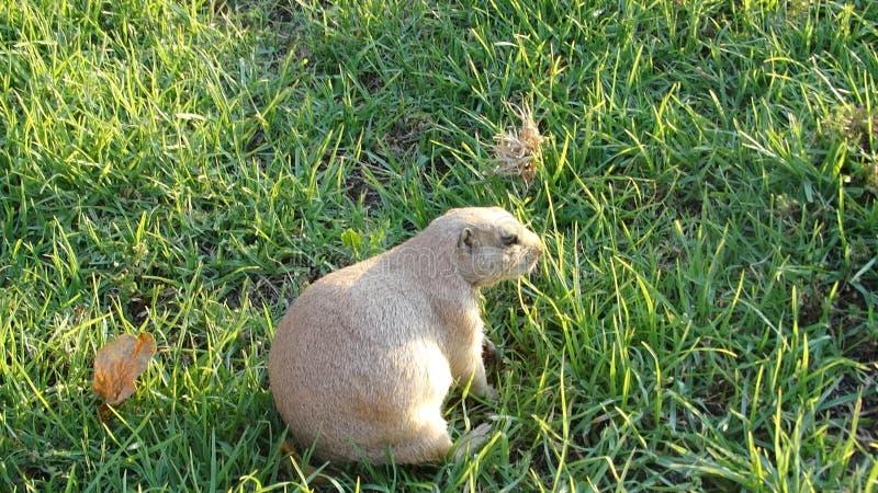 Одичалый суслик собаки луга в естественной среде обитания стоковые изображения rf
