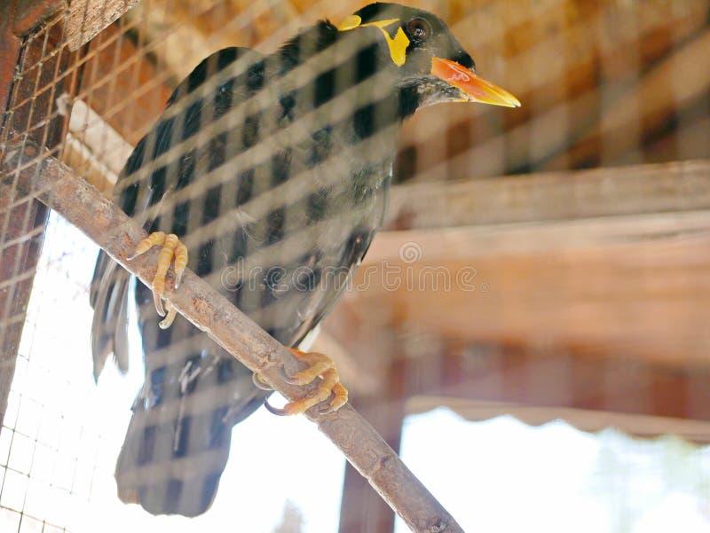 Одичалый холм Mynah птицы поглощенное в клетке символизируя безвыходность и проигрышную свободу в жизни стоковая фотография rf