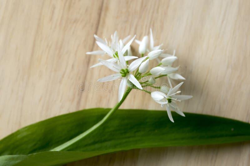 Одичалый чеснок в кухне, ursinum лукабатуна стоковая фотография