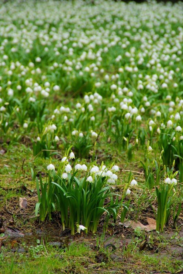 Одичалый daffodil стоковые фото