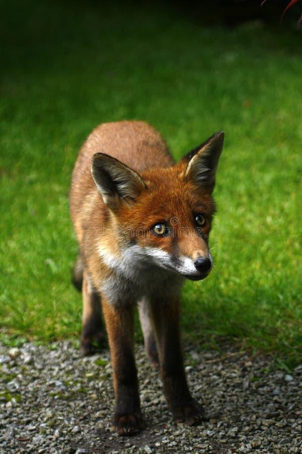 Одичалый Fox Cub стоковое фото rf
