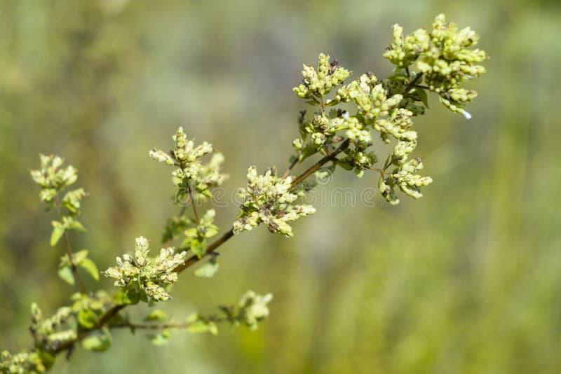 Одичалый oregano (vulgare Origanum) стоковое изображение