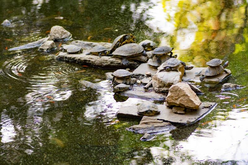 Одна группа в составе черепахи в озере стоковое изображение