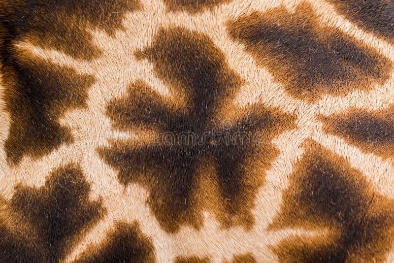 Одна картина жирафов на его назад стоковые изображения