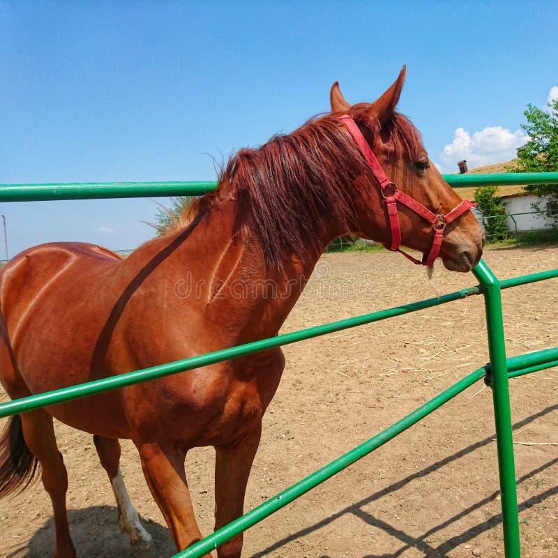 Одна красивая лошадь племенника идет на ранчо против голубого неба и белых облаков стоковая фотография rf