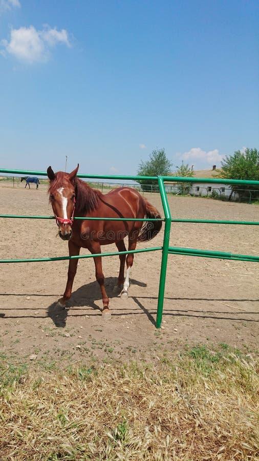 Одна красивая лошадь племенника идет на ранчо против голубого неба и белых облаков стоковая фотография