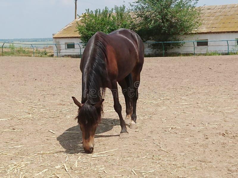 Одна красивая лошадь племенника идет на ранчо против голубого неба и белых облаков стоковое изображение