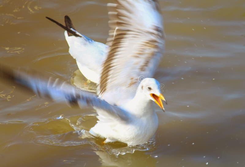 Одна чайка плавая свободно в море прибой моря точного золота склонения добросердечный стоковые фотографии rf