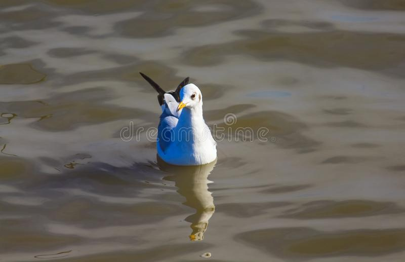 Одна чайка плавая свободно в море стоковое фото rf