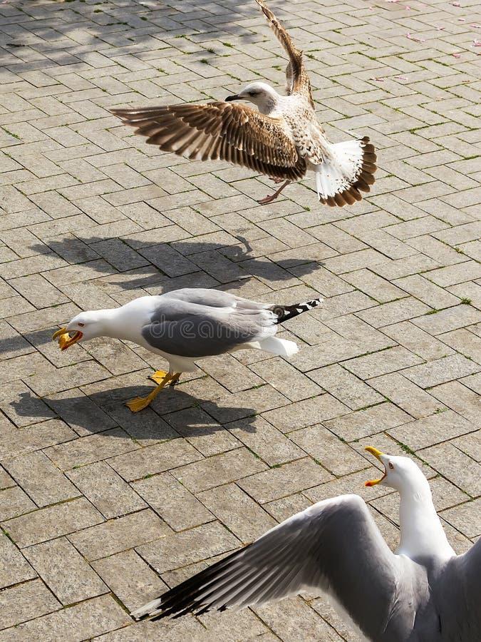 Одна чайка получила некоторую еду от peolple 2 больше чайки летели к нему и хотят еду тоже Чайки дерева на улице взморья стоковая фотография rf