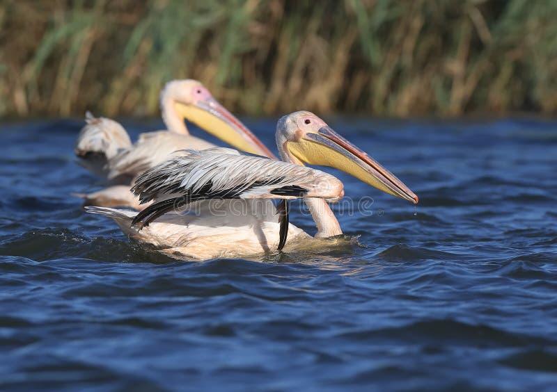 Одно взятие белого пеликана от открытого моря стоковые изображения