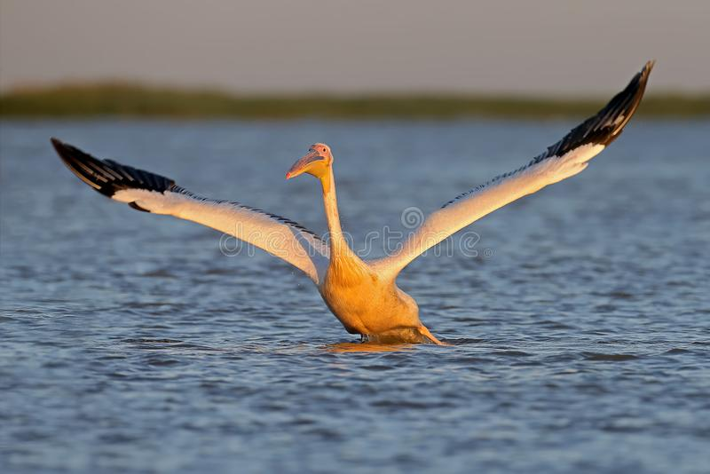 Одно взятие белого пеликана от открытого моря стоковые фотографии rf
