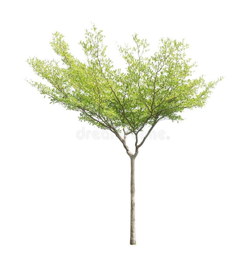одно дерево изолировано, черные афара деревья, известные как многие имена: ivory береговая миндаль, idigbo, framire и emeri стоковые изображения rf