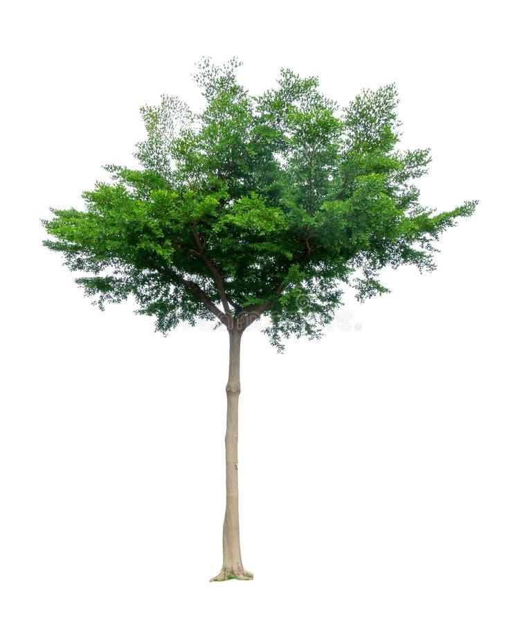 одно дерево изолировано, черные фара деревья, известные как многие имена: ivory береговый миндаль, idigbo, framire и emeri стоковое изображение rf