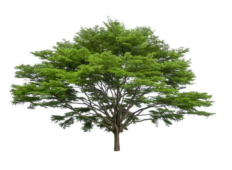 одно дерево изолировано, черные фара деревья, известные как многие имена: ivory береговый миндаль, idigbo, framire и emeri, вечно стоковое фото rf