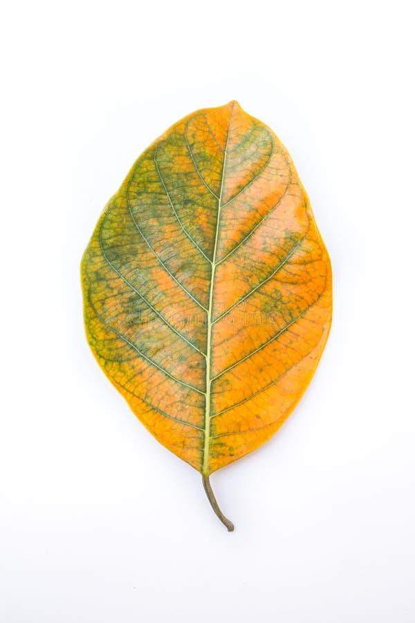 Одно зеленое и оранжевые лист дерева джекфрута изолированные на белой предпосылке стоковое изображение