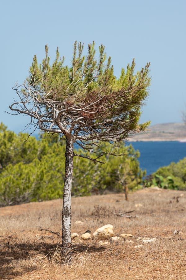 Одно малое halepensis Pinus, сосна Халеба стоковая фотография rf