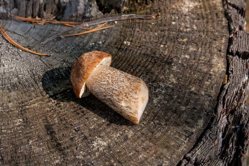 Одно сжатое на осени изумляя съестной подосиновик крышки коричневого цвета гриба известный как грибы badius подосиновика стоковое изображение