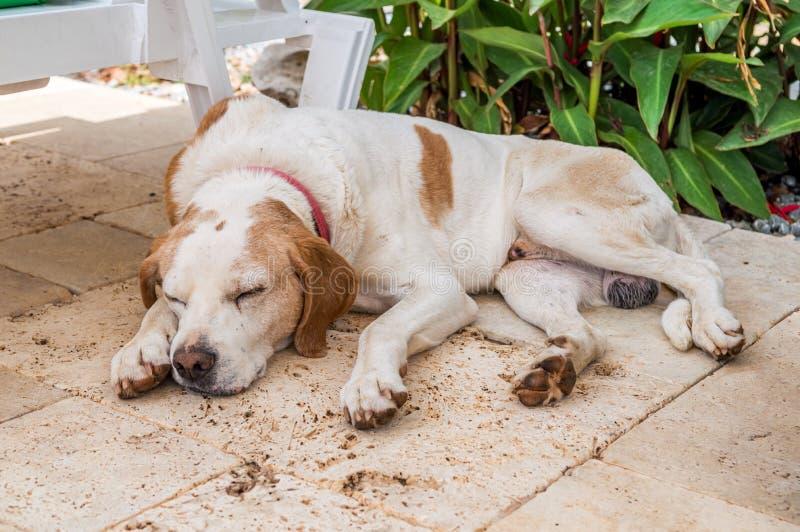 Одомашниванная бездомная собака спать в саде стоковые фотографии rf
