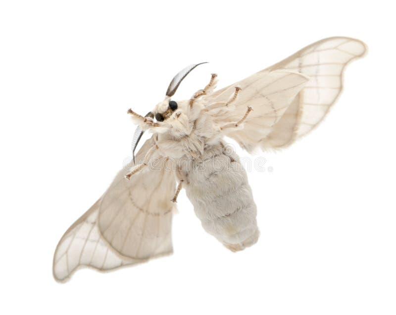 Одомашниванное Silkmoth, mori Bombyx стоковая фотография