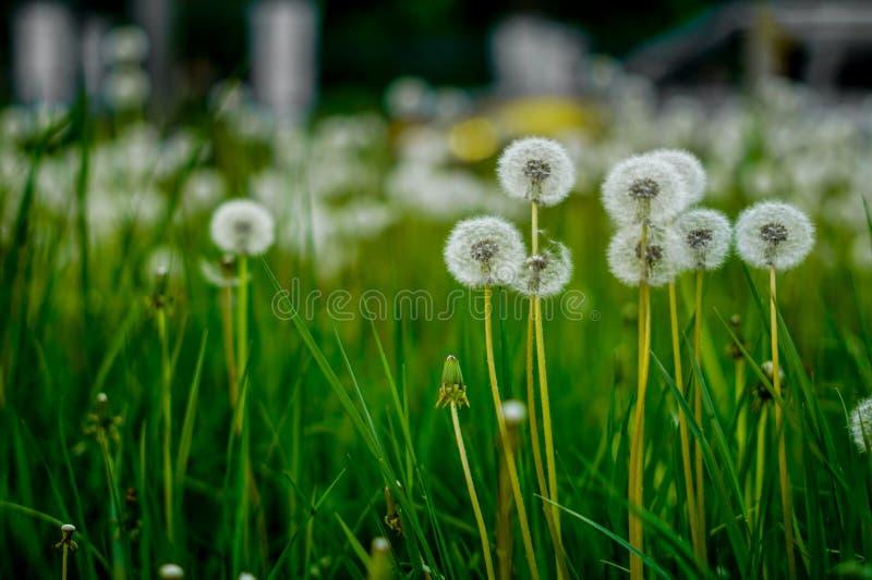 одуванчики белые Цветы стоковое фото