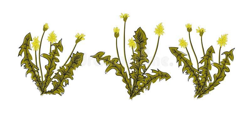 Одуванчики иллюстрации вектора с листьями цветут луг Одуванчик естественного сезона цветка лета красивый желтый Одуванчик иллюстрация вектора