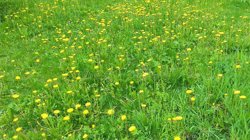 Одуванчики на траве стоковая фотография rf