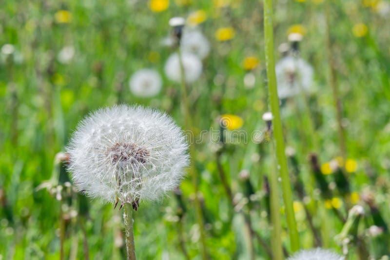 Одуванчик белого, пушистого цветорасположения зрелый на предпосылке blossoming поля с одуванчиками стоковые фото