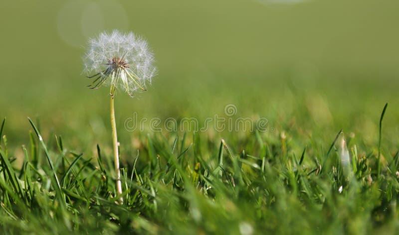 Одуванчик в траве стоковая фотография rf