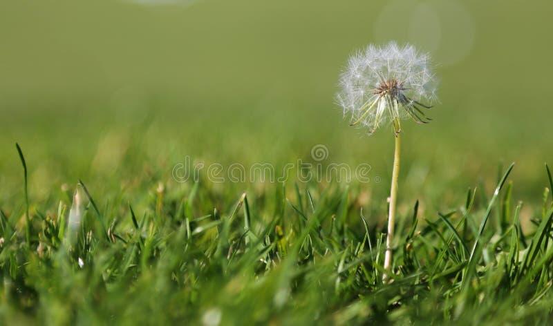 Одуванчик в траве стоковые фотографии rf