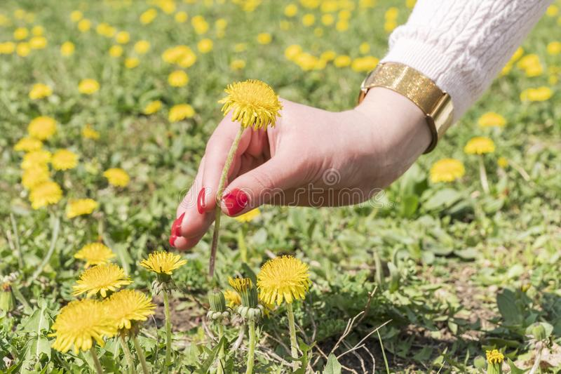 Одуванчик женской руки срывая стоковое фото