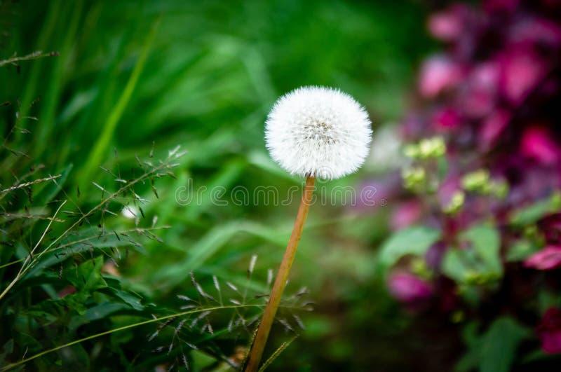 Одуванчик и трава стоковая фотография rf