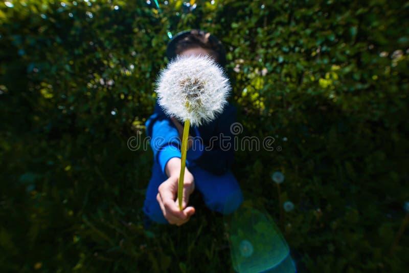 Одуванчик лета пушистый на зеленой предпосылке в расчистке стоковая фотография rf