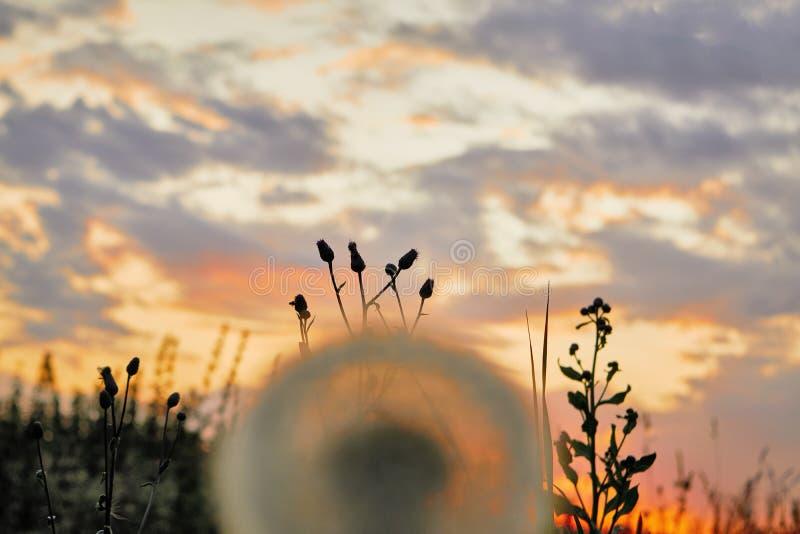 Одуванчик на предпосылке захода солнца стоковые фотографии rf