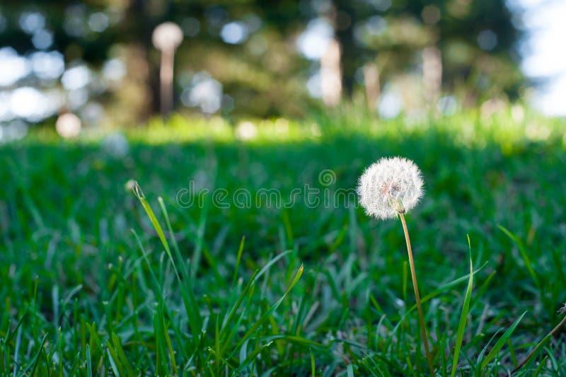 Одуванчик после зацветать в Айове, Америке Одуванчик будет пушистыми семенами, который нужно лететь прочь к далекому месту Летом, стоковое изображение