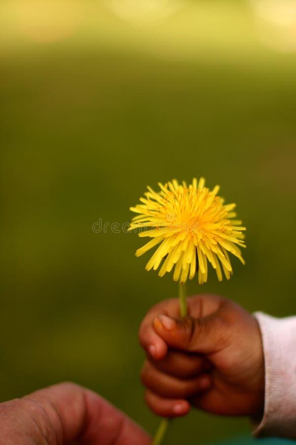 одуванчик ребенка стоковое изображение rf