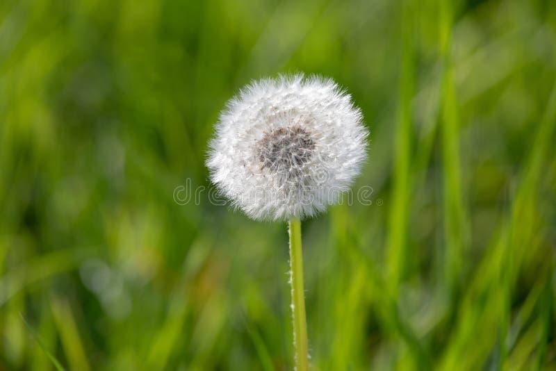 Одуванчик с семенами летания, естественная предпосылка стоковое фото rf